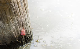 Golden apple snail eggs perched on a tree stump in the pond. Royalty Free Stock Photos