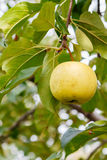 Golden apple on tree Stock Images