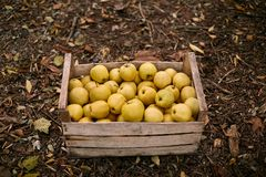 Golden apples in vintage wooden box on the ground full of autumn foliage. Ripe yellow fruits harvest in a crate. Autumn and diet c royalty free stock image
