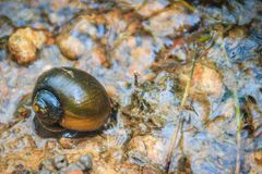 Golden applesnail or Channeled applesnail is the alien imported. From abroad. The number is increasing and spread in almost all areas of Thailand. It is a stock photography