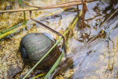 Golden applesnail or Channeled applesnail (Pomacea canaliculata) is eating rice trees. It is alien freshwater mollusk that is a m. Ajor rice enemy royalty free stock photo