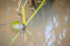 Golden applesnail or Channeled applesnail (Pomacea canaliculata) is eating rice trees. It is alien freshwater mollusk that is a m. Ajor rice enemy royalty free stock image
