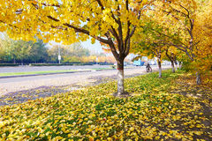 The golden apricot tree leaves on the footwalk. The photo was taken in Sartu district Daqing city Heilongjiang province, China Royalty Free Stock Photo