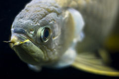 Golden arowana close up Stock Photos