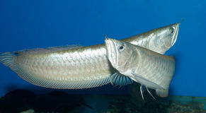 Golden arowana fish Royalty Free Stock Photography