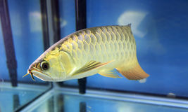 Golden arowana Royalty Free Stock Image