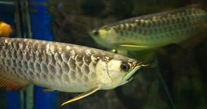 Golden arowana fish Stock Photos