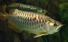 Golden arowana fish Royalty Free Stock Photo