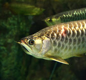 Golden arowana fish Stock Image