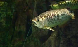Golden arowana fish Royalty Free Stock Photography