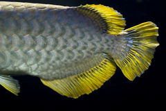 Golden arowana tail close up Stock Photography