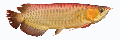 Golden Arowana. A tropical fish, is one of the ancient fish and species. The fish is found in Asia, South America, Australia and Africa. The main species royalty free stock photos
