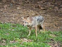 Golden or Asiatic jackal ( Canis aureus ) Royalty Free Stock Image
