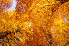 Golden aspen Royalty Free Stock Image