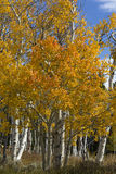 Golden Aspen on Casper Mountain Wyoming Royalty Free Stock Photography