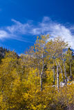 Golden Aspen Forest Royalty Free Stock Photography