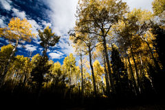 Golden Aspen Forest in Fall Royalty Free Stock Photo
