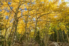 Golden Aspen Grove off the Glacier Gorge Trail Royalty Free Stock Photos