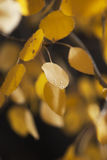 Golden Aspen Leaf with Dew Drops Royalty Free Stock Images