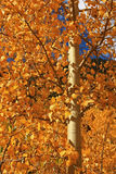 Golden Aspen Leaves. Vertical close-up view aspen tree with golden leaves in the fall Royalty Free Stock Photo