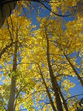 Golden Aspen. Leaves contrast against the blue sky during autumn in Colorado Stock Photo