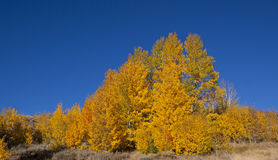 Golden Aspen Tree Stock Photo