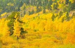 Golden Aspen Tree Forest Stock Photography