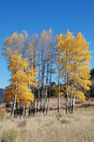 Golden Aspen Trees. A cluster of aspen trees, populus tremuloides, show off their golden splender on an October afternoon in Colorado Royalty Free Stock Images