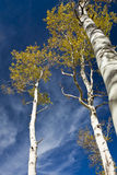 Golden Aspen Trees Royalty Free Stock Photography