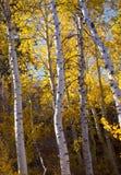 Golden Aspen Trees Royalty Free Stock Photo