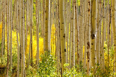 Golden Aspen Trees in Autumn Stock Image