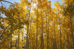 Golden Aspen Trees Stock Images