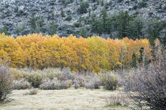 Golden Aspen Trees Stock Image