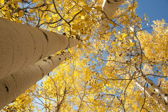 Golden Aspen Trees Royalty Free Stock Photo