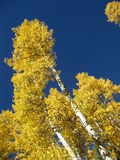 Golden Aspen. Aspen trees, turned golden in Autumn, contrast against deep blue sky Royalty Free Stock Images