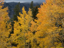 Golden Aspen. Aspen trees, turned golden in Autumn, contrast against stormy skies and dark evergreens Stock Photos