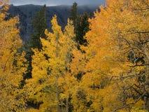 Golden Aspen Stock Photos