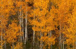 Golden aspen trees in a wooded setting Stock Images