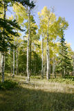 Golden Aspens Stock Image