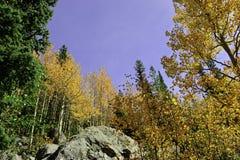 Golden aspens Stock Image