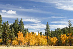 Golden Aspens Royalty Free Stock Photo