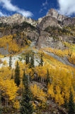Golden Aspens. Aspens changing on side of mountain Stock Photos