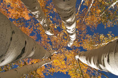Golden Aspens Stock Photography
