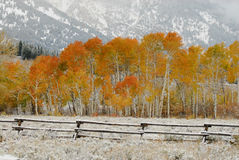 Golden Aspens In Autumn. Autumn Colors in the Mountains Stock Image