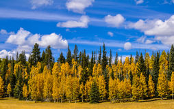Golden Aspens. Beautiful golden aspens and a beautiful day Stock Photos