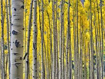 Free Golden Aspens In Rocky Mountain National Park Stock Images - 102830554