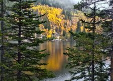 Golden aspens in Rocky Mountain National Park royalty free stock image