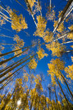 Golden Aspens in Santa Fe Stock Images