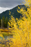 Golden Aspens on the Snake River Stock Photography