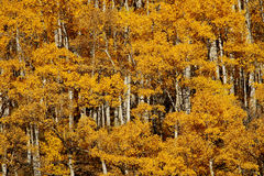 Golden Aspens Royalty Free Stock Photos